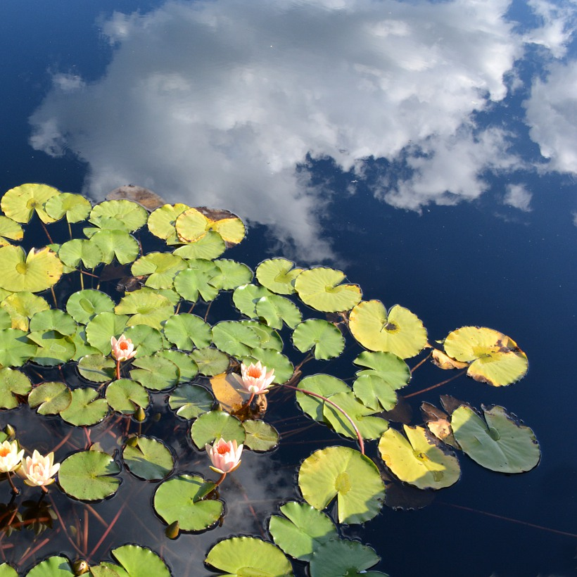 Clouds reflected in a pool of lily pads