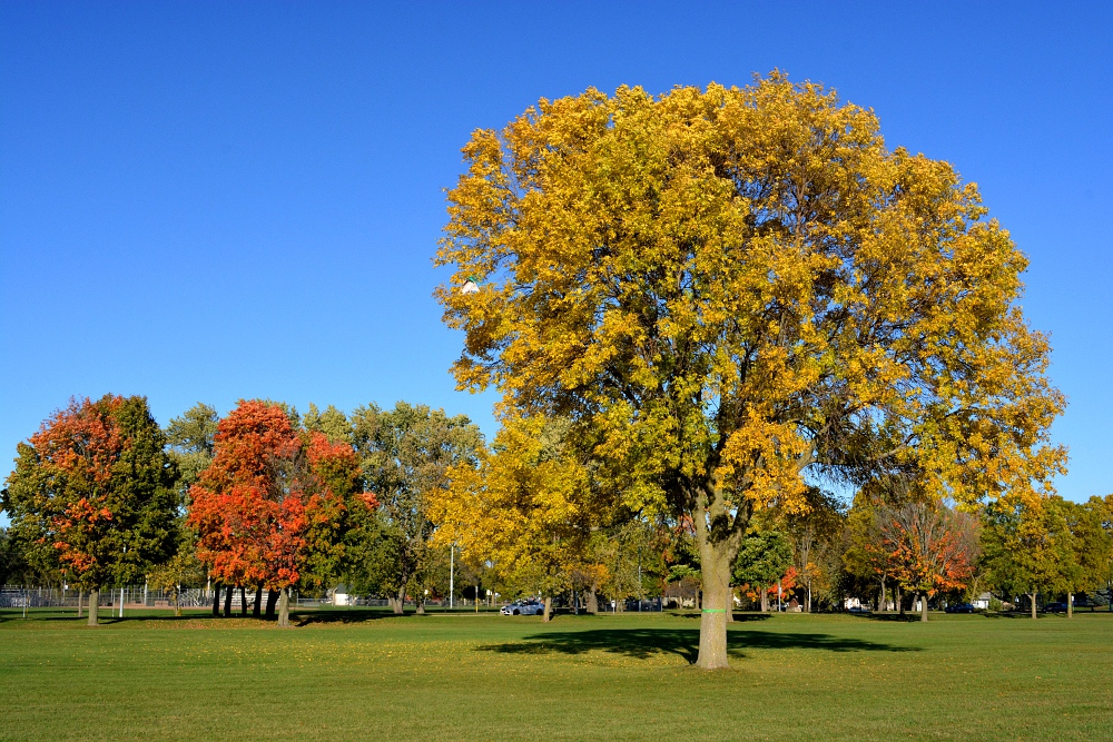 ash tree, and maple tree in autumn colors under a blue sky