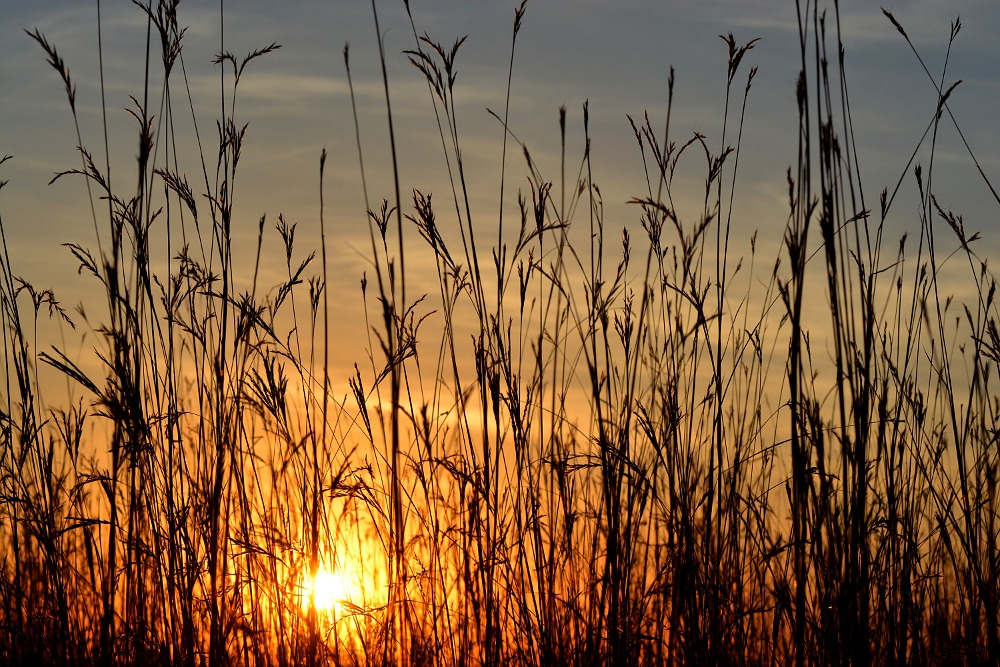 sun setting behind tall prairie grass