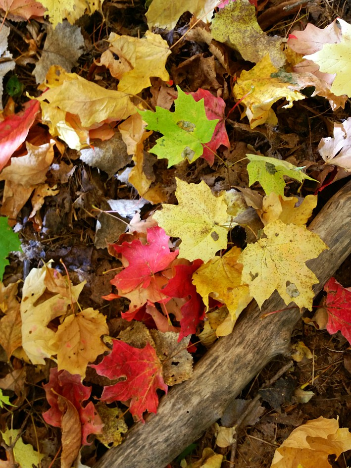 multi-colored maple leaves on the ground