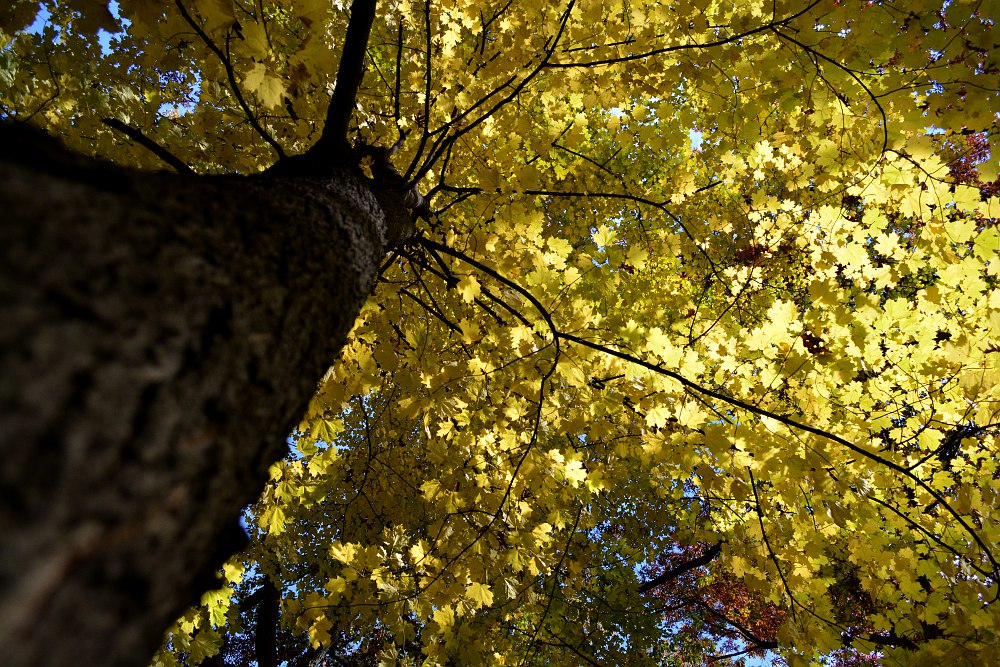 Looking up from the bottom of a yellow maple tree