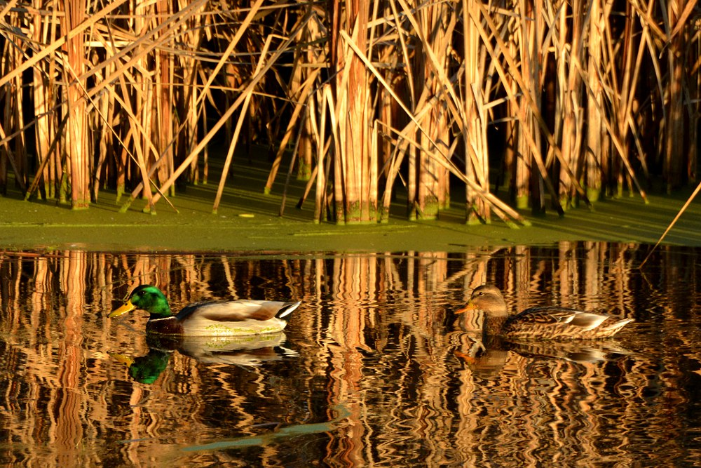 Mallard duck swimming in front of some reeds