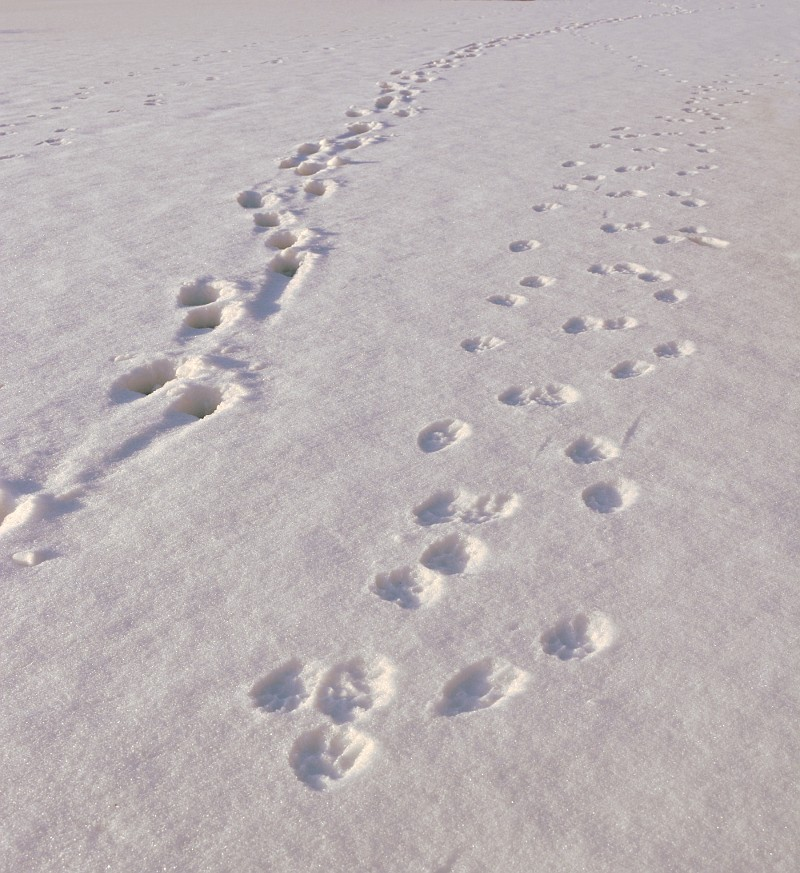 Animal tracks on a snow covered pond