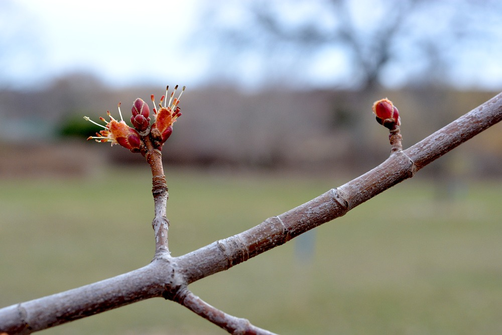 Tree buds starting to grow