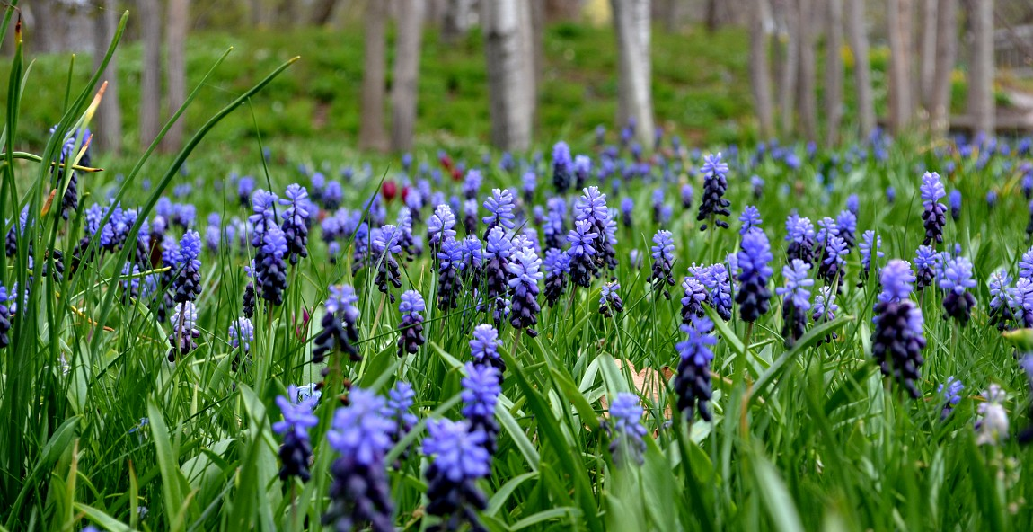 Blue hyacinth blossoms in the grass