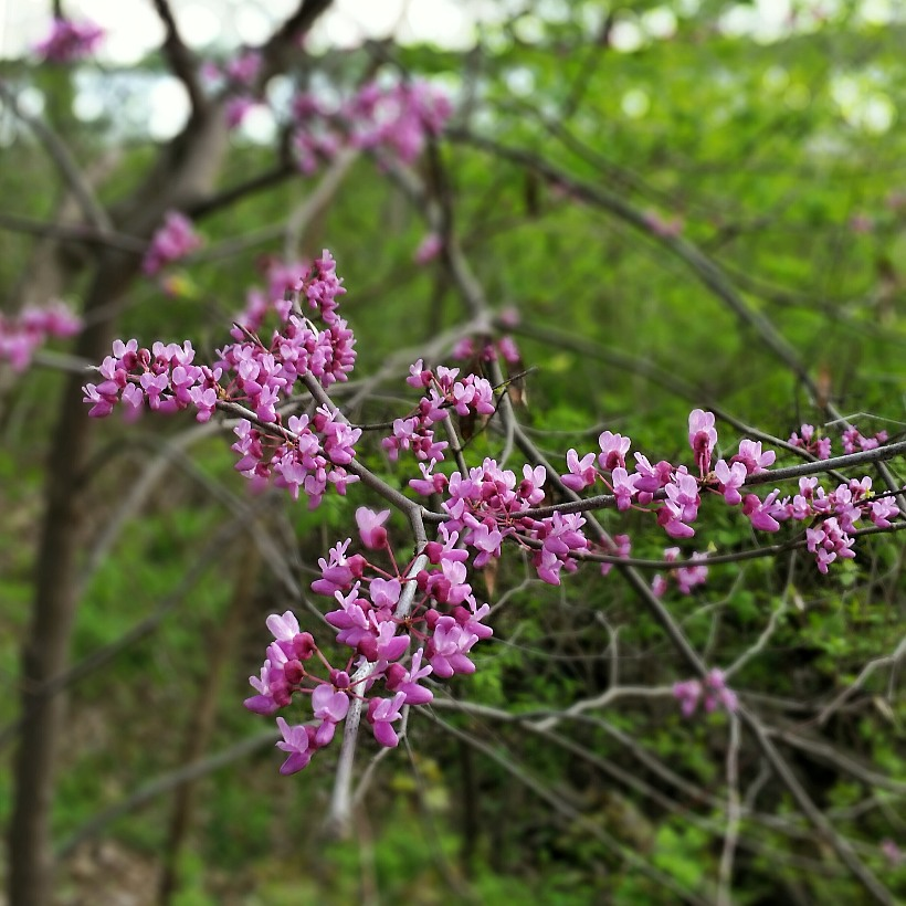 Blossoms on a branch of a redbud tree