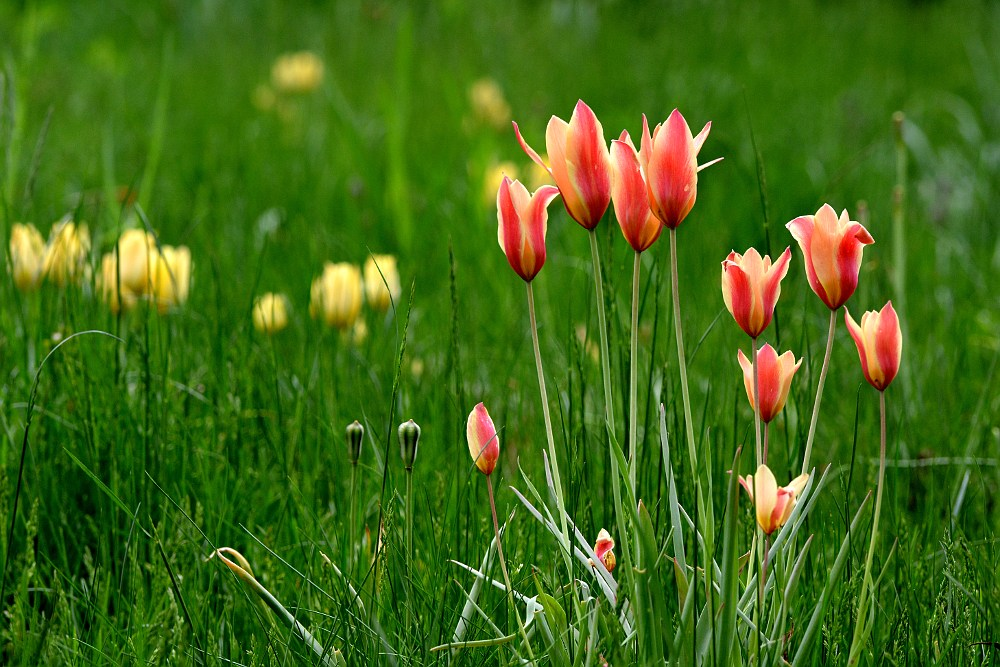 Red and yellow tulips in a grass prairie