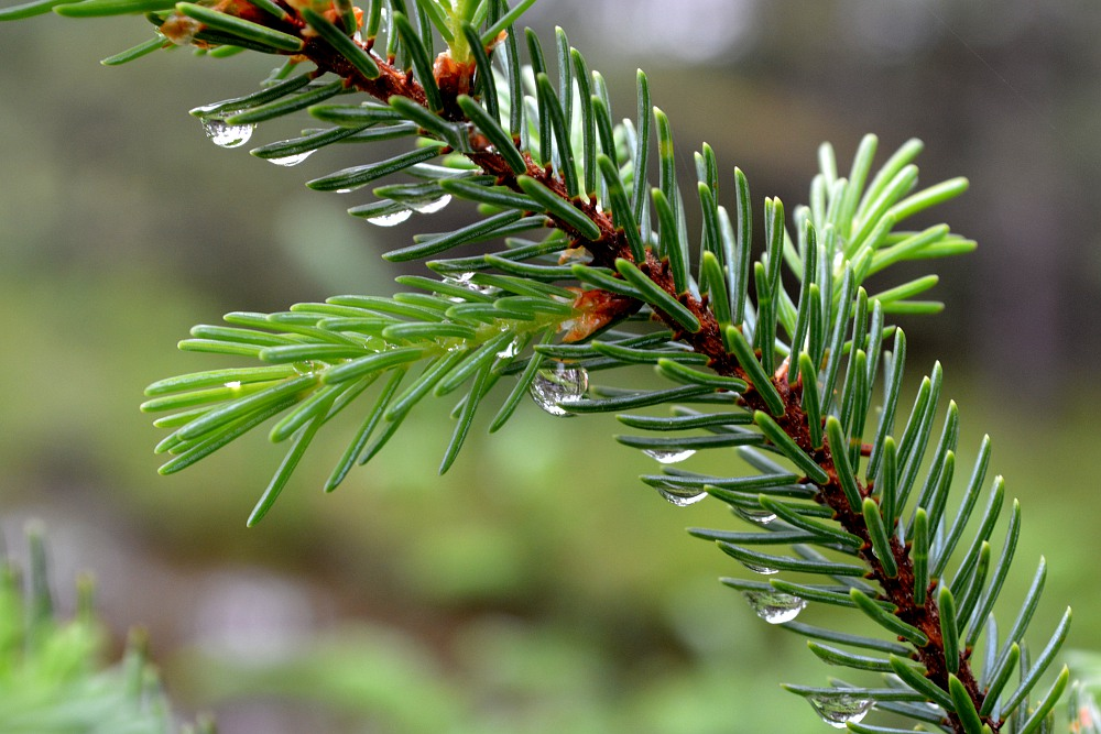 raindrips on pine needles