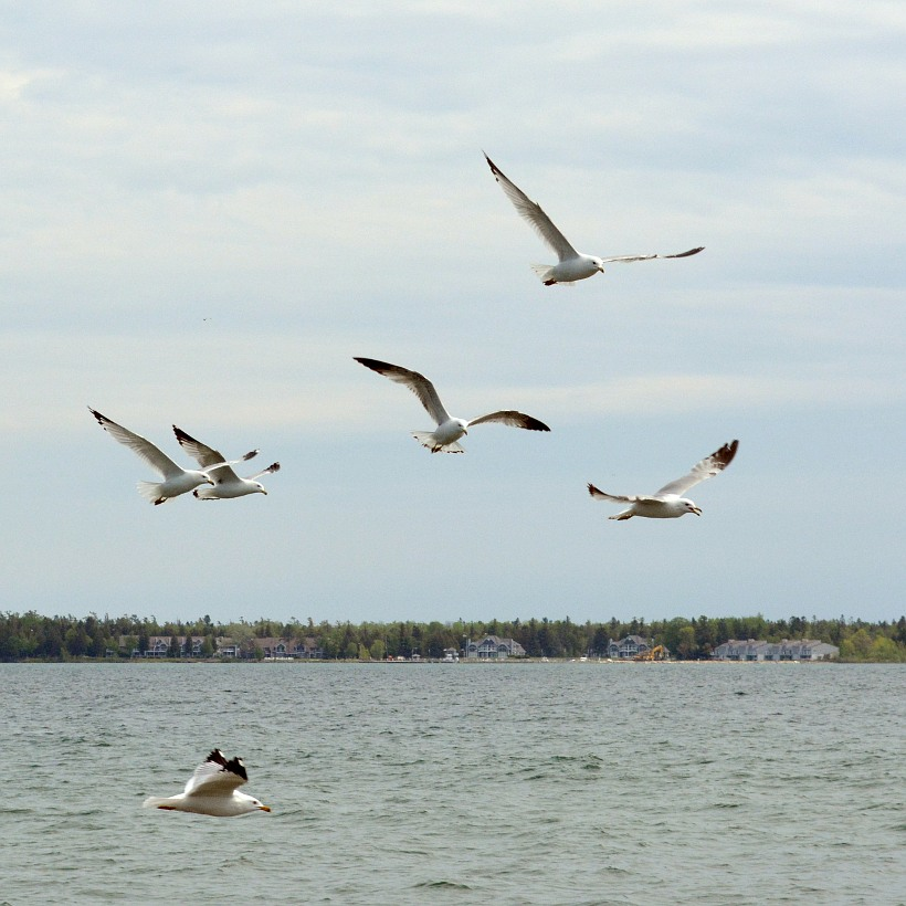seagulls flying off of Lake Michigan