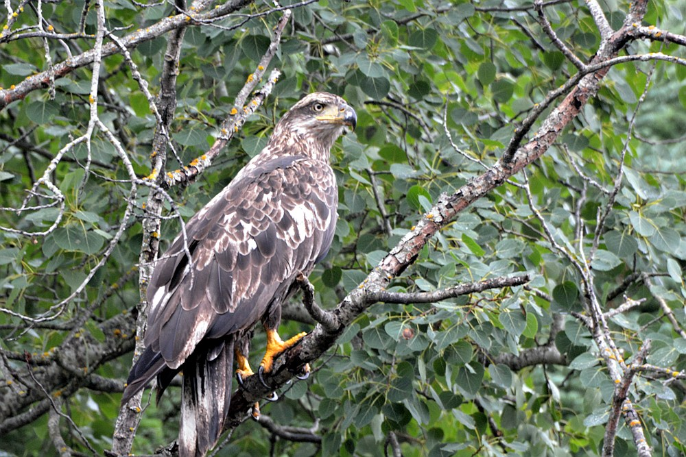 Immature bald eagle perched in a tree