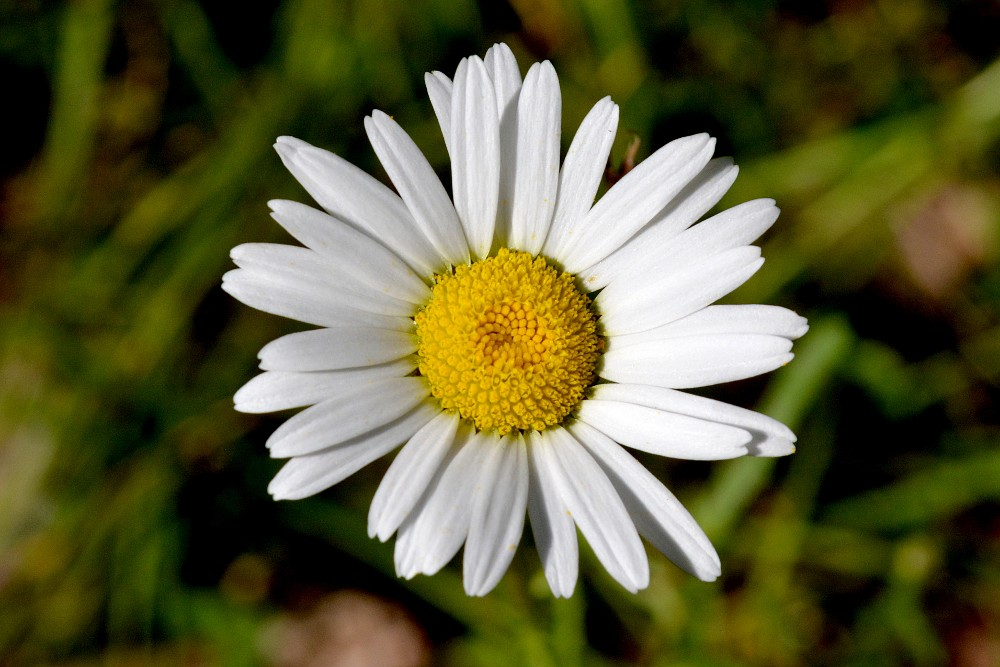 daisy blossom from above