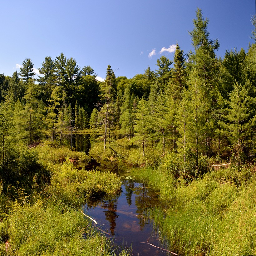 Pine trees and creek