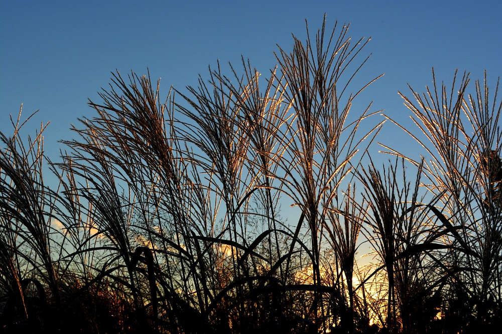 Ornamental grass, backlit by the setting sun
