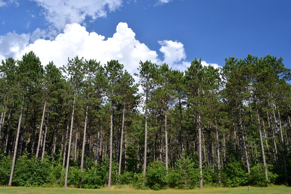 line of tall pine trees