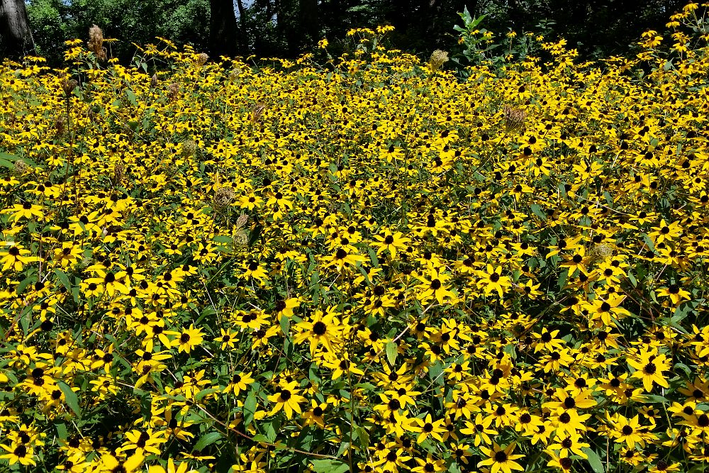 large group of black-eyed susan blossoms