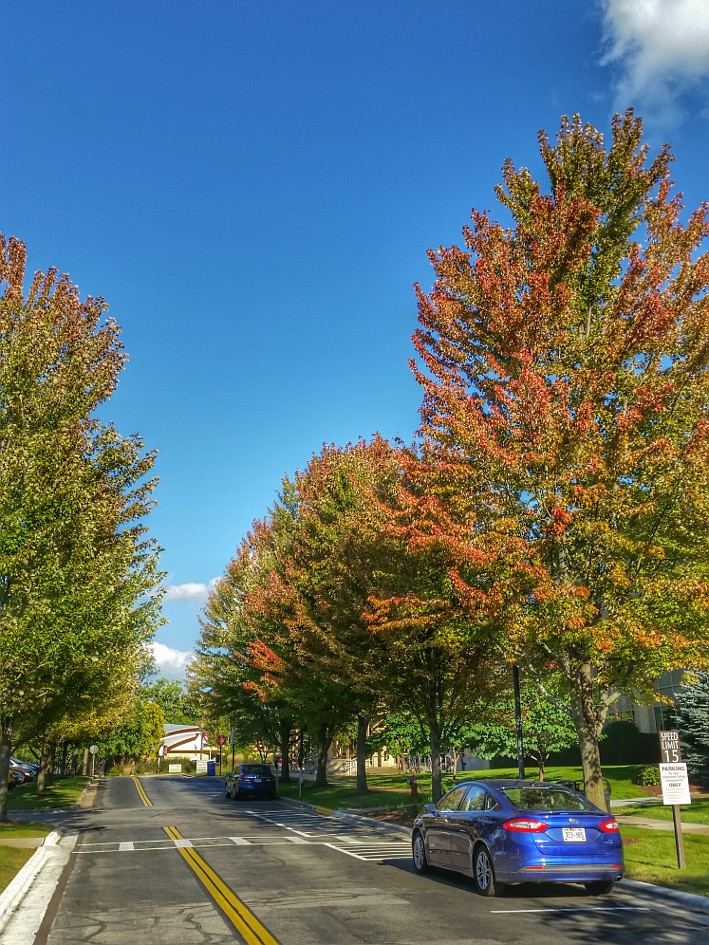 Maple trees starting to turn color along a street
