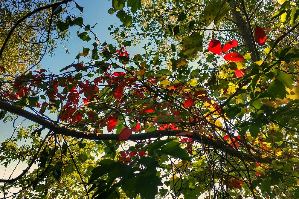 Red backlit leaves on a mostly green branch