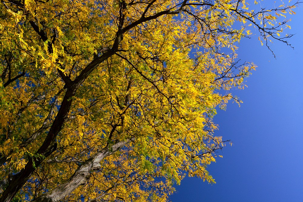 Hickory tree with yellow leaves against a deep blue sky