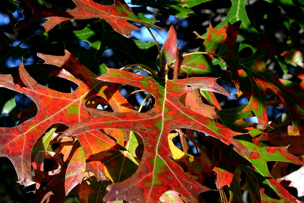 Oak leaves changing colors in a psychedelic pattern