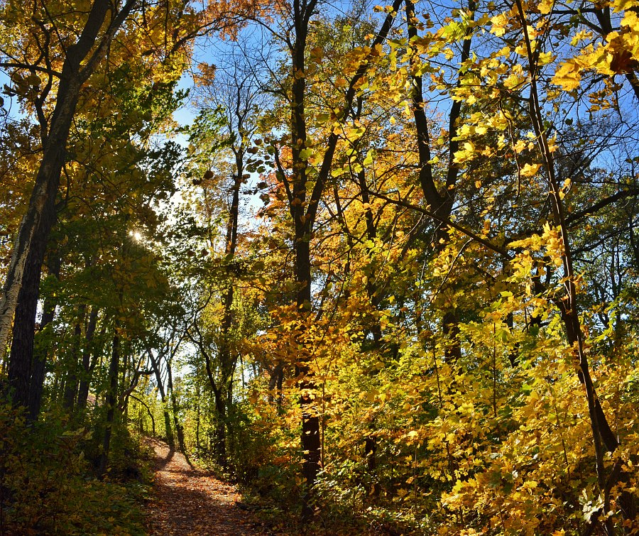 Yellow maple trees along a hiking trail
