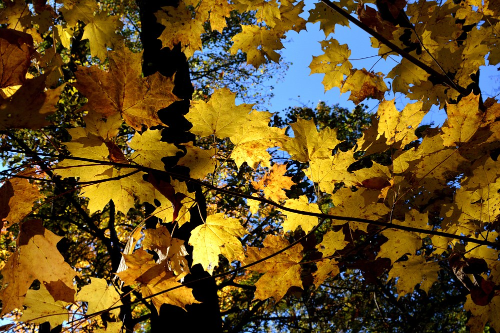 Yellow maple leaves backlit by the sun