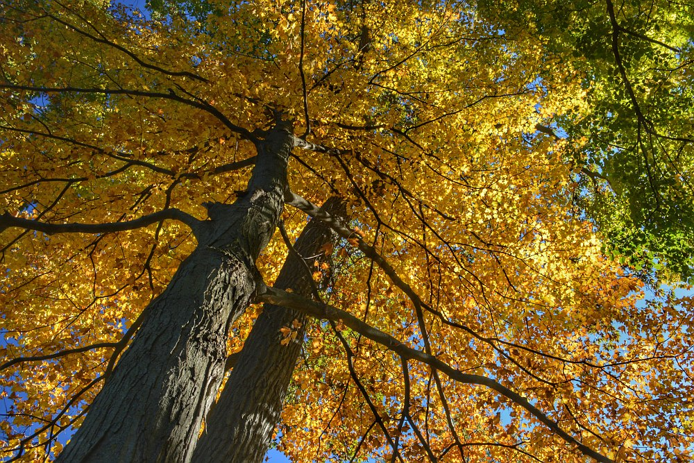 Two maple trees, with leaves turned yellow