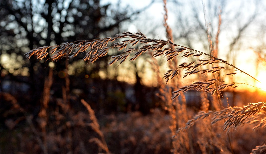 Tall yellow grass backlit by late afternoon sun