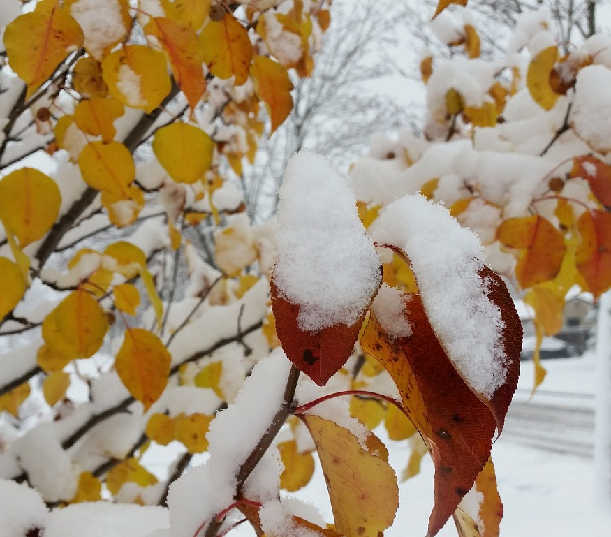 Snow accumulated on golden yellow leaves
