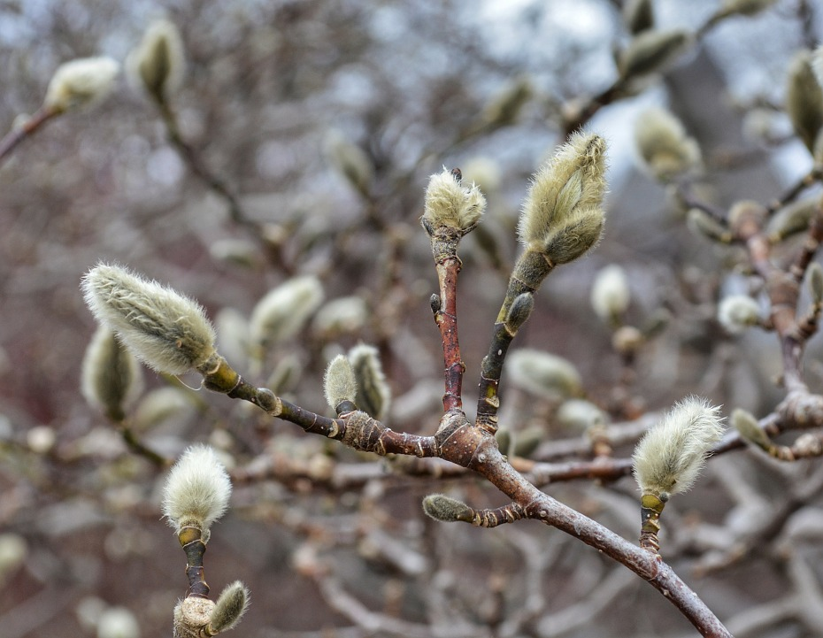 Buds on a magnolia tree