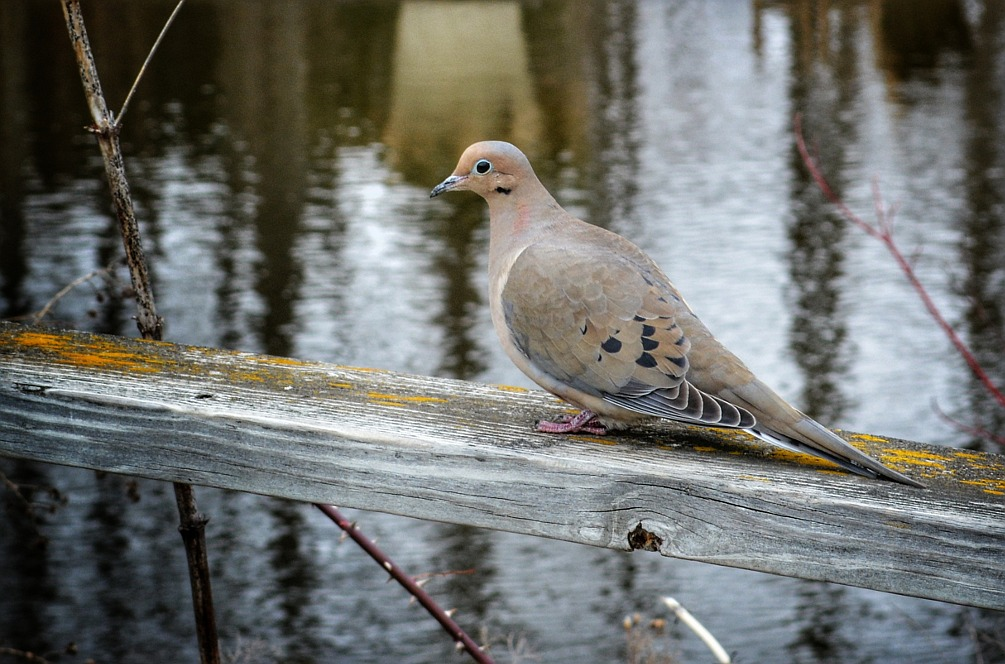 Mourning dove perched on a railing