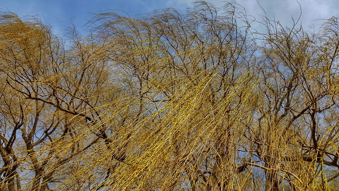 Spring willow tree being blown by the wind