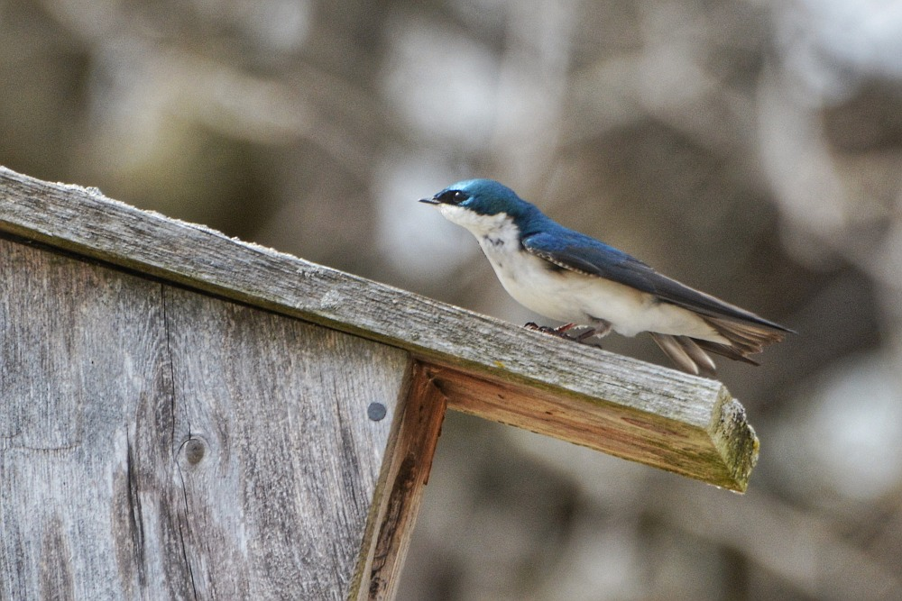 Tree swallow on top of a birdhouse
