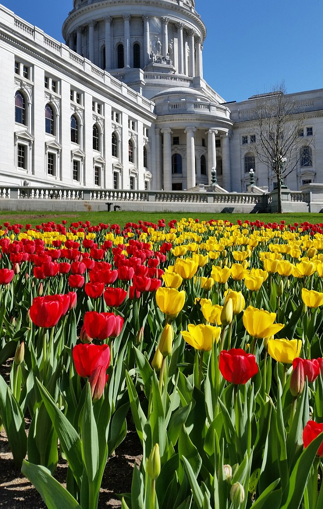 Tulips in front of the Wisconsin Capitol