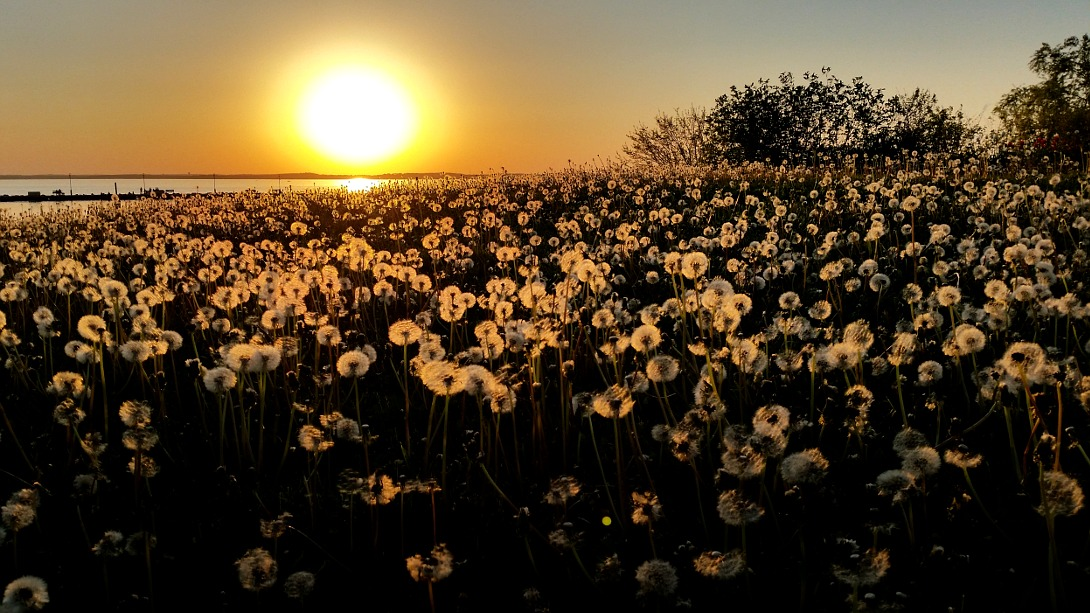 Dandelions backlit against a setting sun