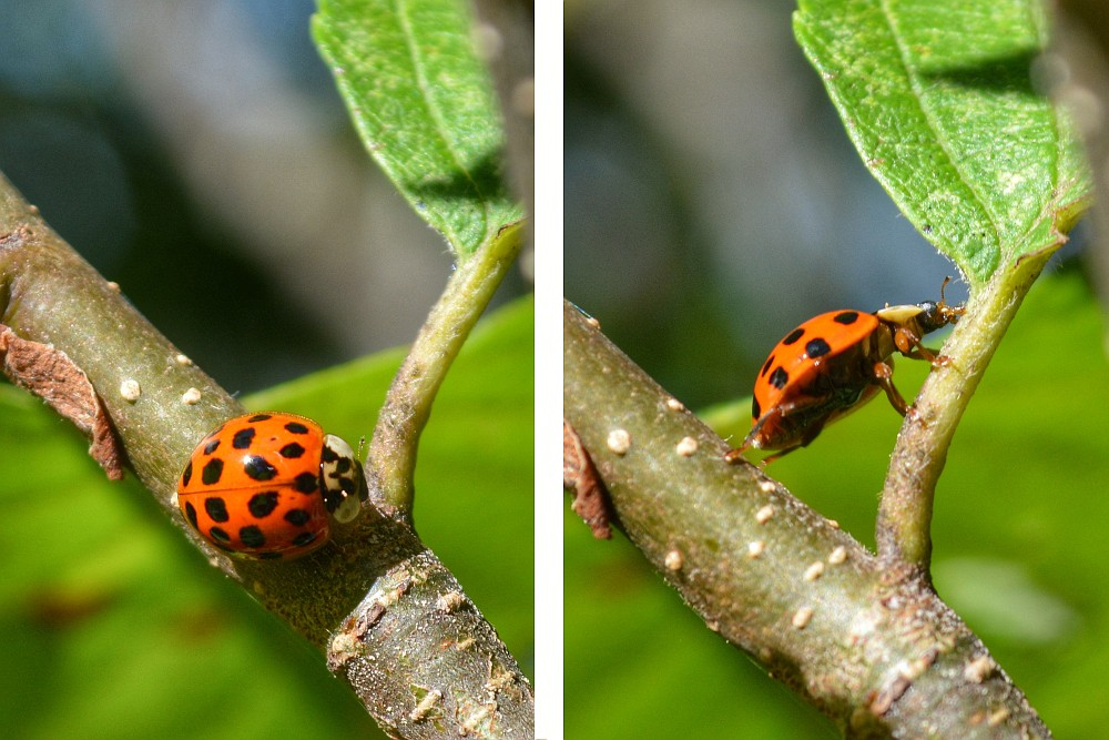 two photos of ladybug climbing a branch