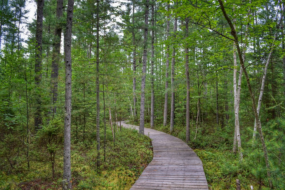 boardwalk path into a forest