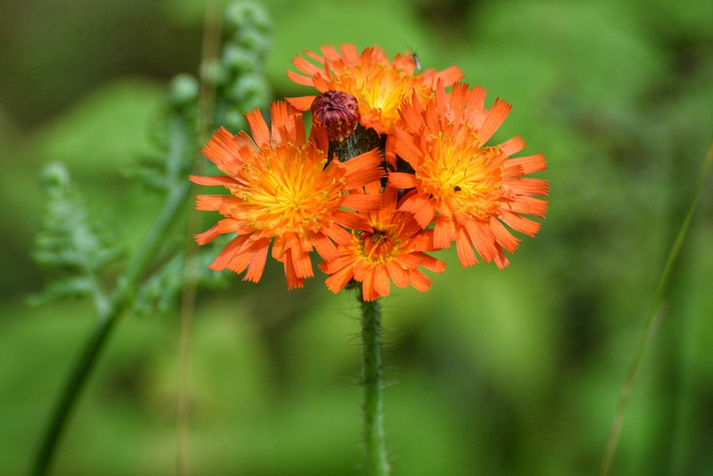 stem with a group of orange hawkweed blossoms