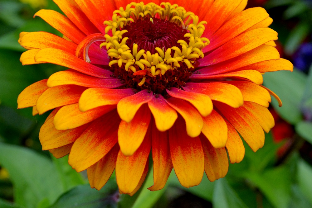 Close up of an orange zinnia blossom