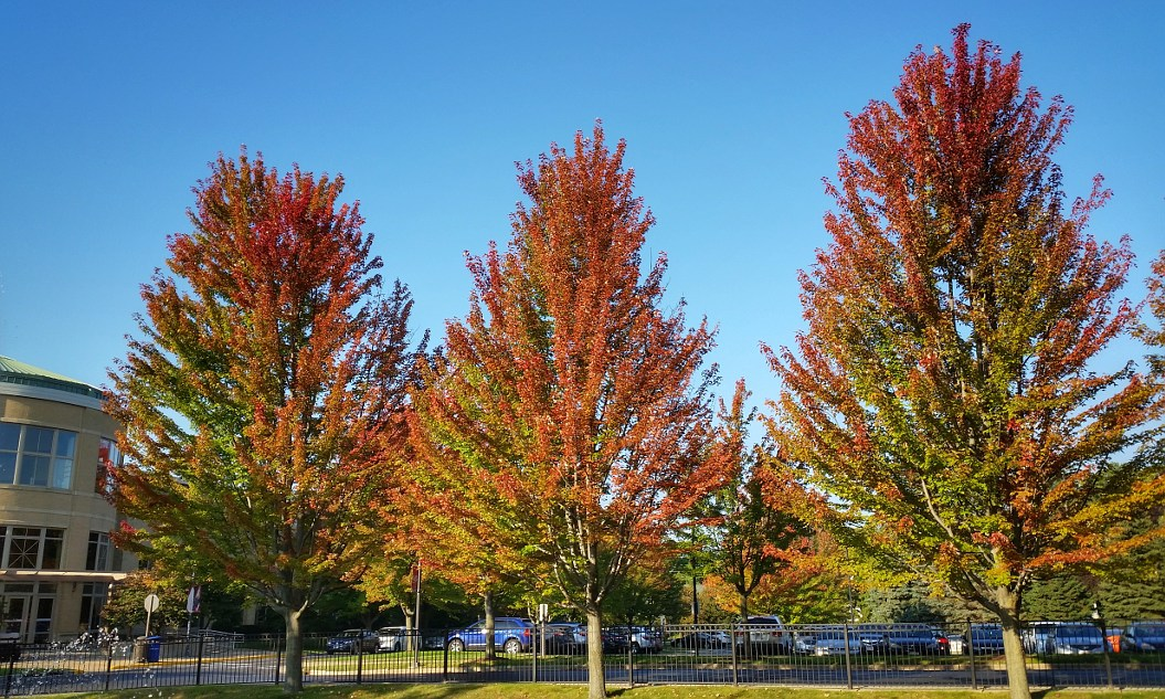Three maple trees with leaves about half in autumn color