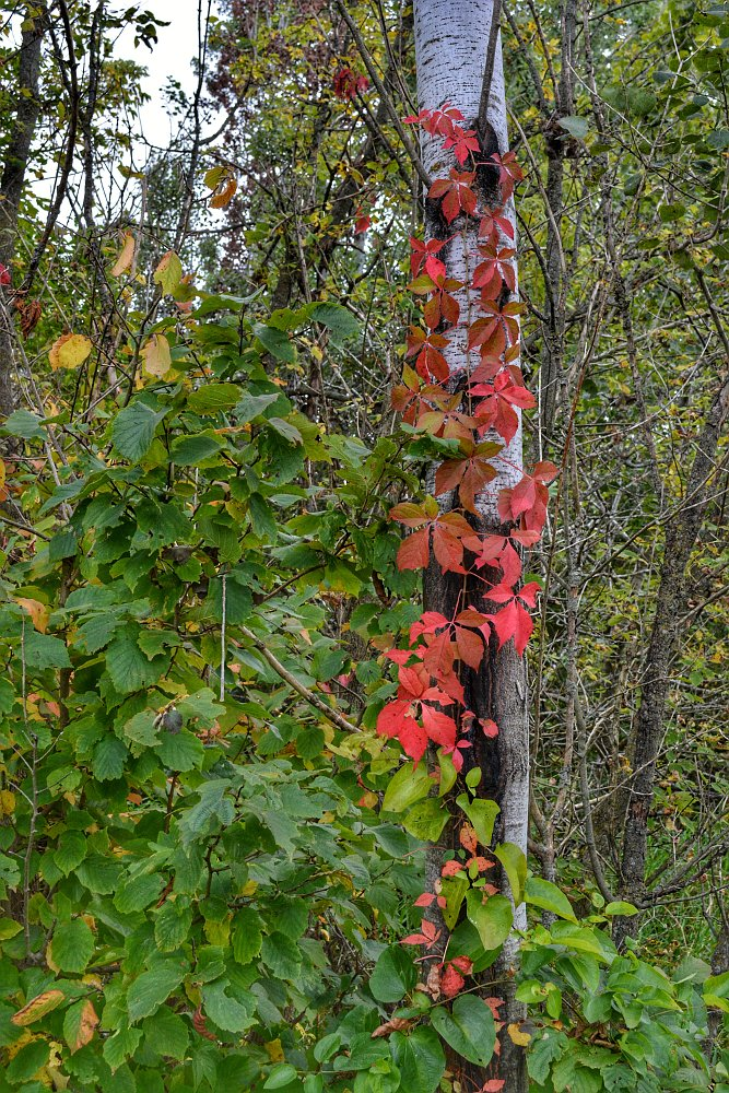 Vine with red leaves creeping up a birch tree