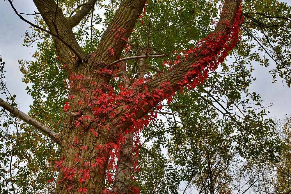 Vine with red leaves creeping up an ash tree