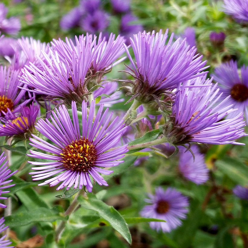 Cluster of purple aster blossoms