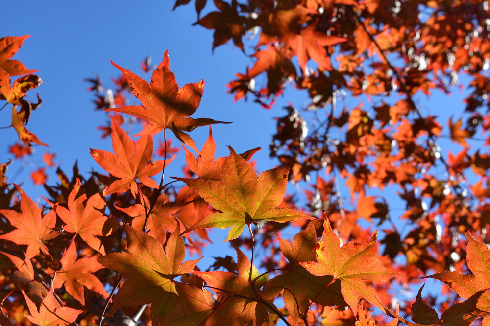 Red maple leaves backlit by the sun