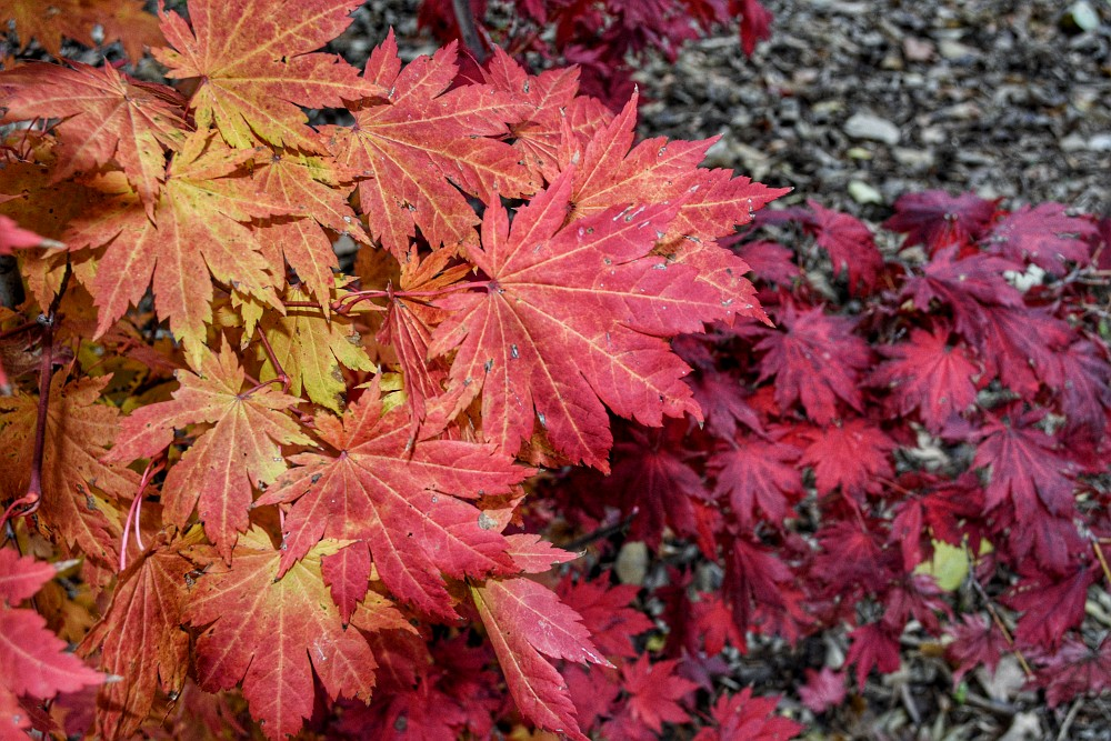 Leaves in various shades of red
