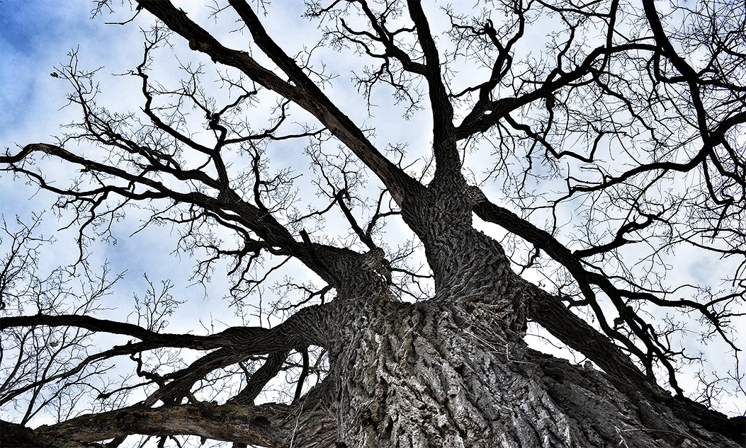 looking up at the bare branches of an oak tree