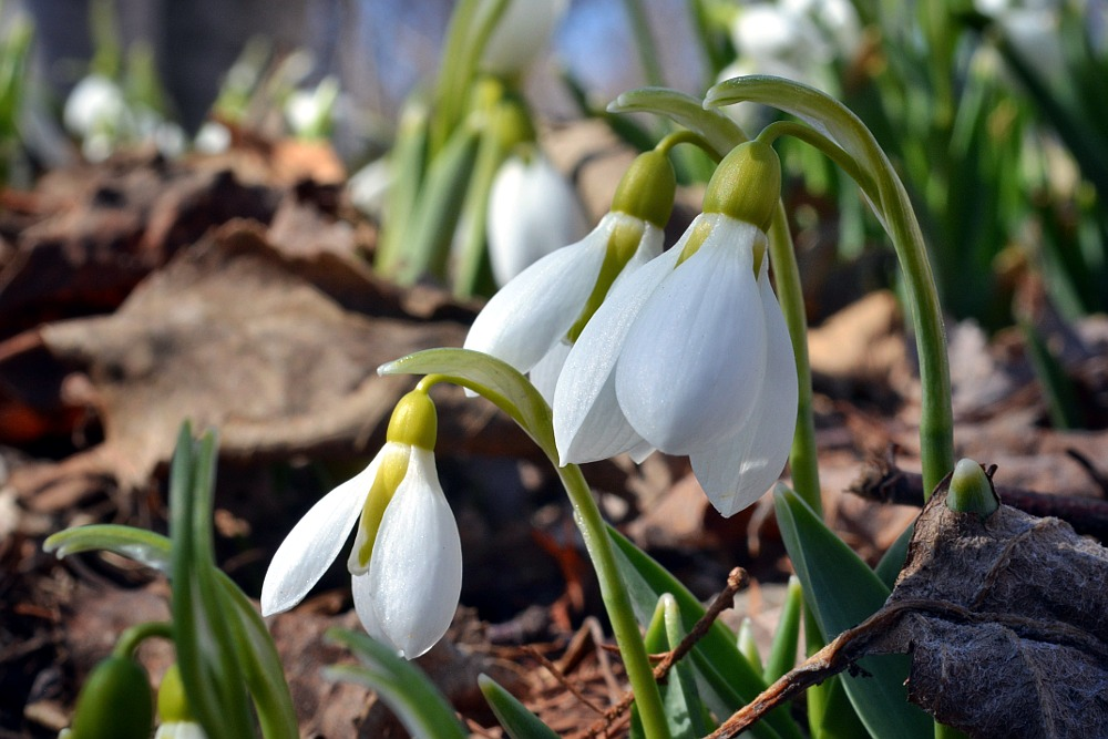 snowdrop blossoms