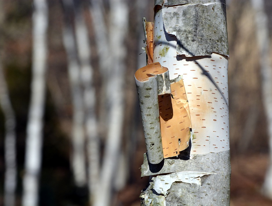 curly birch bark, pealing off a tree