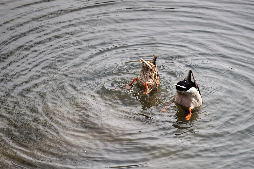 The aligned rear ends of two ducks, poking out of the water