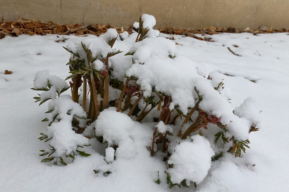 snow covered bleeding heart plant