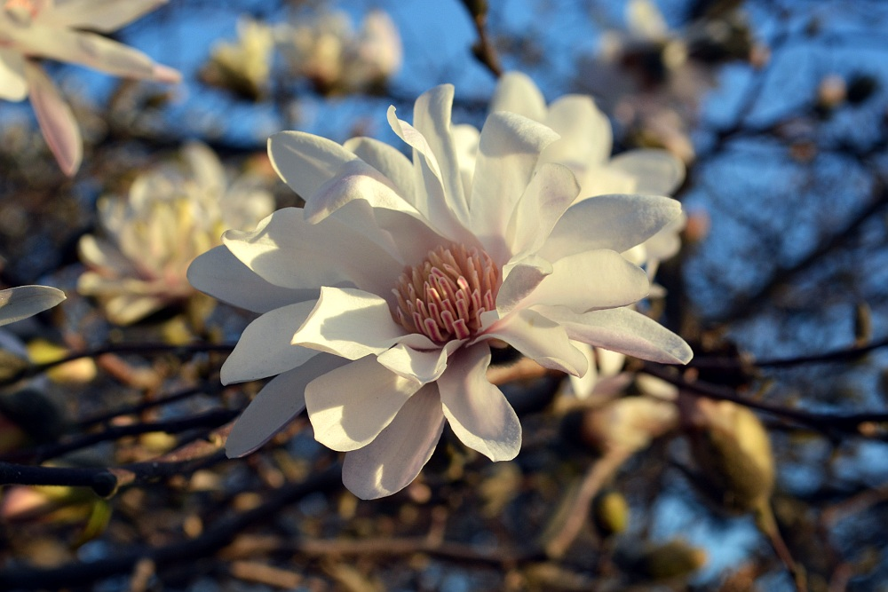 Magnolia blossom lit by the early evening sun